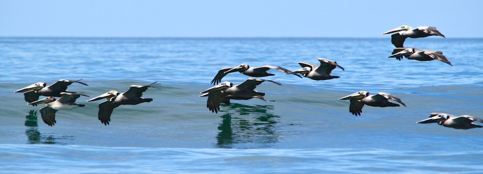 Pelicans_Costa_Rica